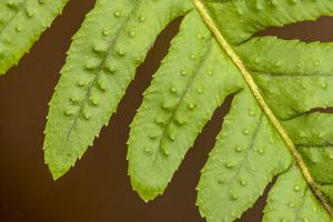 Licorice Fern close-up of leaflets, also known as many-footed fern. by Janet Horton