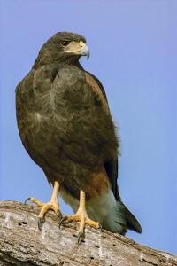 Linn, Texas, USA. Harris' hawk perched on a dead, fallen tree. by Janet Horton