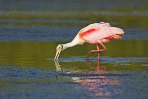 Little Estero Lagoon in Fort Myers Beach, Florida. Roseate spoonbill feeding with a reflection. by Janet Horton