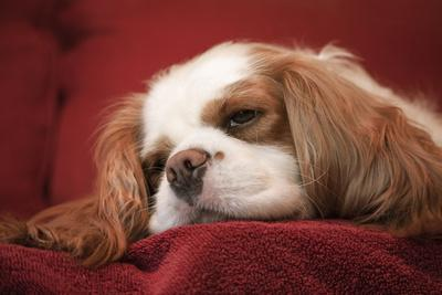 Mandy, a Cavalier King Charles Spaniel sleeping on a towel-covered sofa.