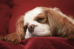 Mandy, a Cavalier King Charles Spaniel sleeping on a towel-covered sofa. by Janet Horton