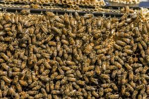 Maple Valley, Washington State. Frames full of worker bees storing honey and tending the nursery. by Janet Horton