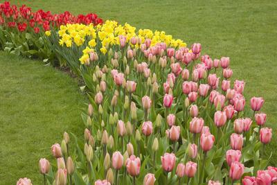 Mount Vernon, Washington State, USA. Curved row of tulips and daffodils.