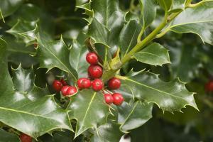 Mount Vernon, Washington State, USA. English holly (Ilex Aquifolium) with red berries. by Janet Horton