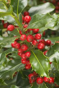 Mount Vernon, Washington State, USA. English holly with red berries. by Janet Horton