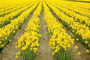 Mount Vernon, Washington State, USA. Field of yellow daffodils. by Janet Horton