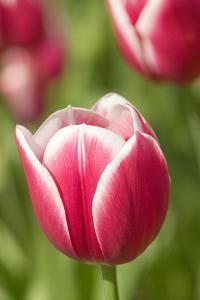 Mount Vernon, Washington State, USA. Merry widow tulip growing. by Janet Horton