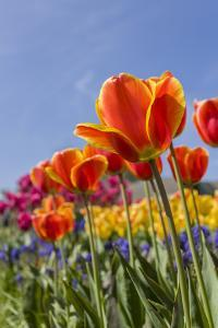 Mount Vernon, Washington State, USA. Tulip garden. by Janet Horton