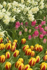 Mount Vernon, Washington State, USA. Tulips and daffodils growing. by Janet Horton