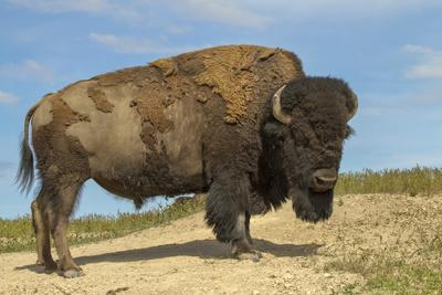 National Bison Range, Montana, USA. Bison standing up after dust-bathing in a dust wallow.