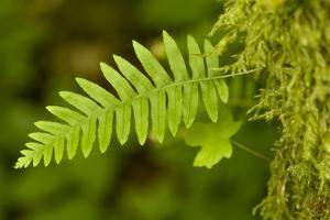 Olallie SP, Washington. Licorice fern growing from a moss-covered big-leaf maple tree. by Janet Horton