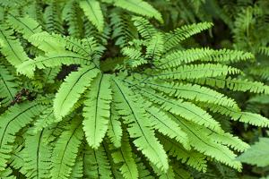Olallie State Park, Washington State, USA. Maidenhair fern plants. by Janet Horton