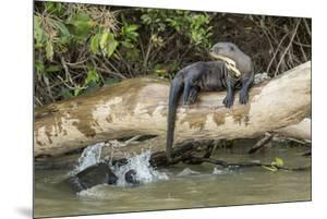 Pantanal, Mato Grosso, Brazil. Giant river otter reclining on a log by Janet Horton