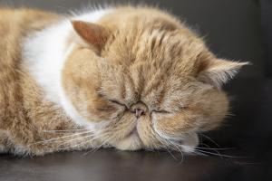 Portrait of a sleeping purebred exotic shorthair domestic cat. by Janet Horton
