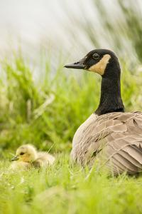 Ridgefield National Wildlife Refuge, Washington State, USA. Canada goose mother and chick. by Janet Horton