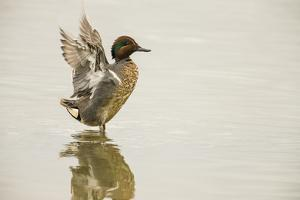 Ridgefield National Wildlife Refuge, Washington, USA. Male green-winged teal flapping its wings. by Janet Horton