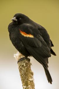 Ridgefield NWR, Ridgefield, Washington State. Fluffed-up male red-winged blackbird on a cattail . by Janet Horton