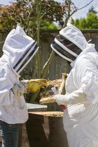 Seattle, Washington State, USA. Two beekeepers checking the health of the honey in a frame. by Janet Horton