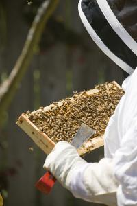 Seattle, Washington State, USA. Woman beekeeper checking the health of the honey in a frame. (MR) by Janet Horton