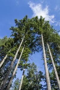 Squak Mountain, Issaquah, Washington. Douglas fir trees, aka Douglas Spruce and Oregon Pine. by Janet Horton