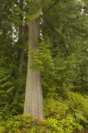 Squak Mountain, Washington. Western redcedar tree surrounded by western swordfern and huckleberry.