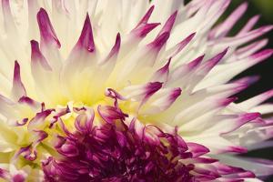 Tacoma, Washington State, USA. Close-up of an Anna Mari dahlia by Janet Horton