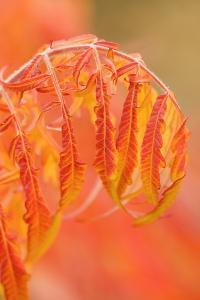 Thorp, Washington State, USA. Shrub in Autumn with bending red leaves. by Janet Horton