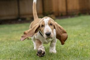 Three month old Basset Hound running in his yard, with water being splashed up off the wet grass. by Janet Horton