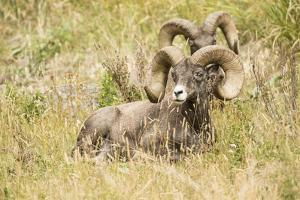 Yellowstone National Park, Wyoming, USA. Two male Bighorn Sheep resting. by Janet Horton