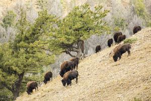 Yellowstone NP, Wyoming. Bison herd grazing on a steep hillside above Pebble Creek, Lamar Valley. by Janet Horton