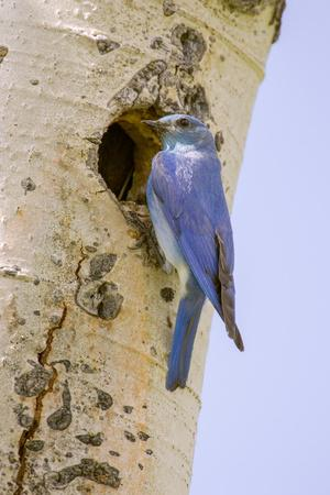 Yellowstone NP, Wyoming. Male mountain bluebird perched by its nesting hole on a paper birch tree.