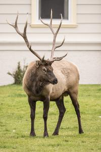 Yellowstone NP, Wyoming, USA. Portrait of a bull elk near the Mammoth Hot Springs Hotel. by Janet Horton