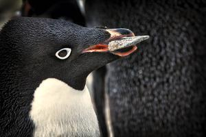 Antarctica. Adelie Penguin Gathers a Pebble for a Nest by Janet Muir