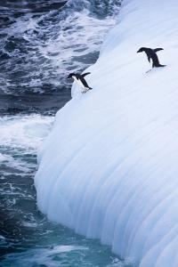 Antarctica. Adelie Penguins Jump of an Iceberg by Janet Muir