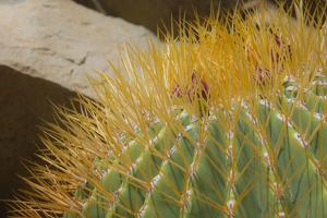 Baja, Gulf of California, Mexico. Close-up of barrel cactus. by Janet Muir