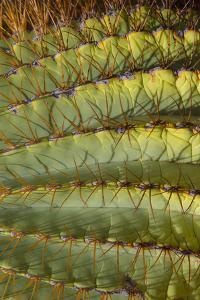 Baja, Gulf of California, Mexico. Detail of Barrel cactus. by Janet Muir