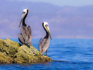 Baja Peninsula, Sea of Cortez, Gulf of California. A Pair of Brown Pelicans Perched on a Rock. by Janet Muir