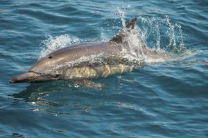 Baja, Sea of Cortez, Gulf of California, Mexico. A Long-beaked common dolphin surfaces. by Janet Muir