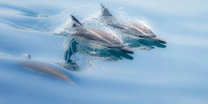 Baja, Sea of Cortez, Gulf of California, Mexico. Long-beaked common dolphin surfacing. by Janet Muir