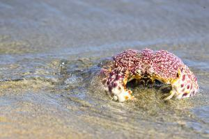 Baja, Sea of Cortez, Gulf of California, Mexico. Magdalena Beach. Close-up of a Box Crab. by Janet Muir