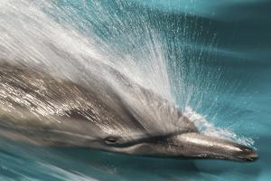 Baja, Sea of Cortez, Gulf of California, Mexico. Motion blur shot of a Long-beaked common dolphin by Janet Muir