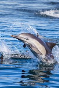 Baja, Sea of Cortez, UNESCO Site, 'Aquarium of the World' Long-beaked common dolphin breaching. by Janet Muir
