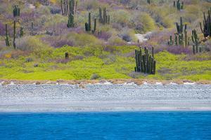 Baja, Sea of Cortez, UNESCO Site, Desert landscape in springtime. by Janet Muir