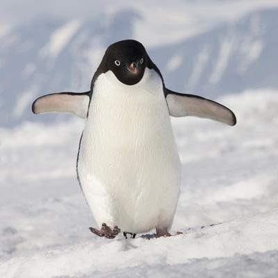 Cape Washington, Antarctica. Adelie Penguin Walks Forward