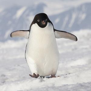 Cape Washington, Antarctica. Adelie Penguin Walks Forward by Janet Muir