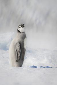 Cape Washington, Antarctica. An Emperor penguin chick stands with its head up. by Janet Muir