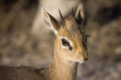 Etosha National Park, Namibia. Close-up View of a Kirk's Dik-Dik by Janet Muir