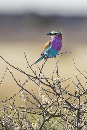 Etosha National Park, Namibia. Lilac-Breasted Roller by Janet Muir