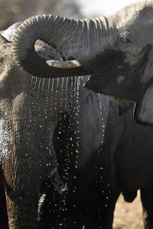 Etosha NP, Namibia, Africa. African Bush Elephant Drinking by Janet Muir