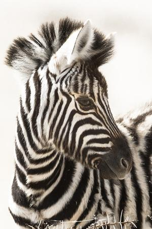 Etosha NP, Namibia, Africa. Close-up of a Young Mountain Zebra